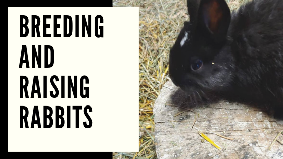 breeding and raising rabbits